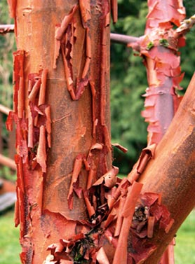 Paper-Bark-Maple-Bark